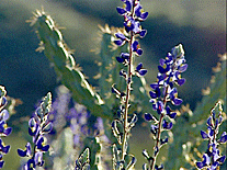 texas_bluebonnets